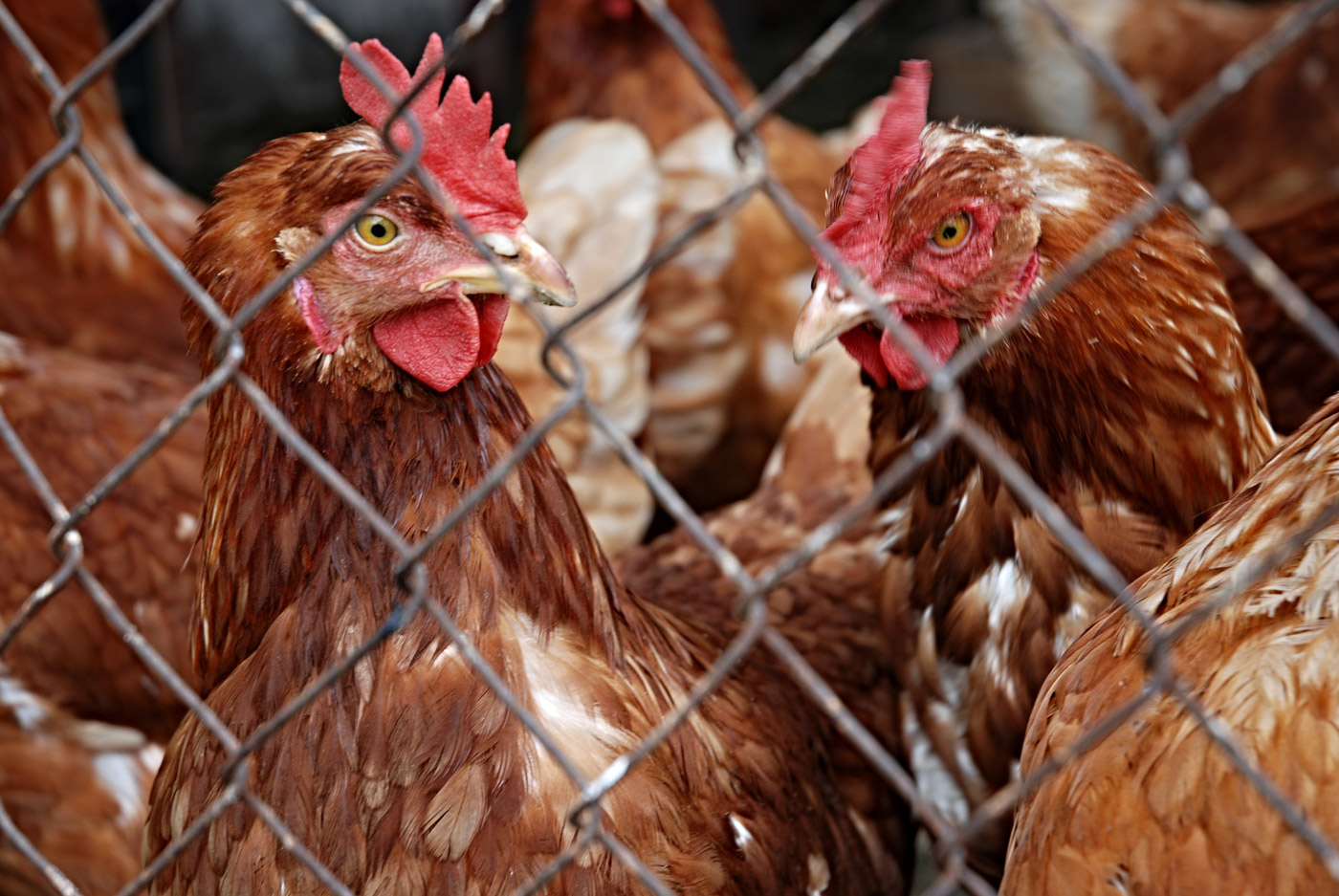 11 things starters in poultry business ought to know